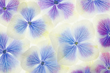 Blue and White Hydrangea Flowers Photographic Print by Cora Niele