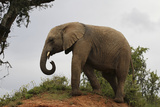 African Elephants 142 Photographic Print by Bob Langrish