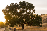 Roadside Oak Photographic Print by Lance Kuehne
