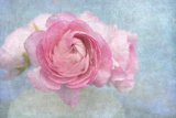Pink Persian Buttercup Still Life Photographic Print by Cora Niele