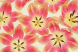 Yellow and Coral Red Tulips Photographic Print by Cora Niele