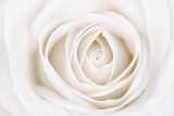 White Rose Photographic Print by Cora Niele