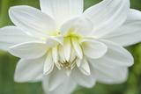 White Dahlia Photographic Print by Cora Niele