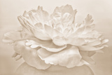 White Peony Photographic Print by Cora Niele