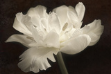 White Tulip II Photographic Print by Cora Niele