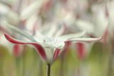 Tulipa Clusiana Cashmeriana Photographic Print by Cora Niele