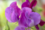 Two Sweet Pea Flowers Photographic Print by Cora Niele