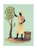 Picking Mangos Giclee Print by Judy Mastrangelo