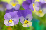 Violets Photographic Print by Cora Niele