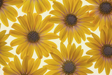 Yellow Cape Dasies Photographic Print by Cora Niele