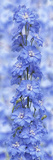 Blue Larkspur Photographic Print by Cora Niele