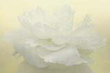 Pure White Peony Reproduction photographique par Cora Niele