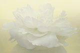 Pure White Peony Photographic Print by Cora Niele