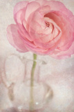 Single Rose Pink Flower Photographic Print by Cora Niele