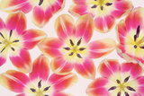 Yellow and Red Tulips Photographic Print by Cora Niele