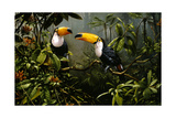 Toucans Giclee Print by Michael Jackson
