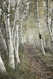 Birch Trail Photographic Print by Natalie Mikaels