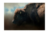 American Bison after the Storm Giclee-trykk av Jai Johnson