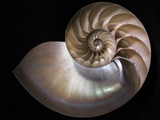 Nautilus 3 Photographic Print by Moises Levy