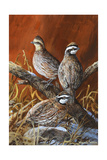 Bobwhite Trio 4 Giclee Print by Trevor V. Swanson