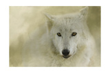 Portrait of a Timber Wolf Giclee Print by Jai Johnson