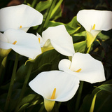 Calla Lilies Photographic Print by Lance Kuehne