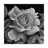 Rose and Raindrops Giclee Print by Stephen Ainsworth