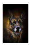 Shepherd Glow Giclee Print by Jai Johnson