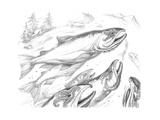 Aquatic Salmon Home Pencil Giclee Print by Jeff Haynie