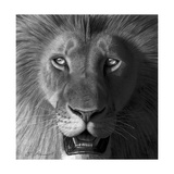 Lion in the Morning Light Giclee Print by Stephen Ainsworth