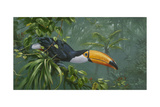 Toco Toucan Giclee Print by Michael Jackson