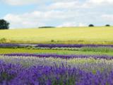 English Lavender Field 2 Photographic Print by Toula Mavridou-Messer