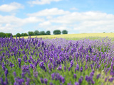 English Lavender Field 1 Photographic Print by Toula Mavridou-Messer