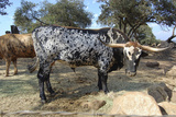 Cow Photographic Print by Robert Kaler