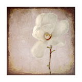 Paper Magnolia Giclee Print by  LightBoxJournal