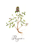 Thyme Giclee Print by  Irina Trzaskos Studio