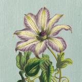 Purple Clematis Art by Sarah E. Chilton