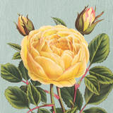Yellow Rose Posters by Sarah E. Chilton
