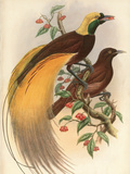 Golden Bird of Paradise Premium Giclee Print by Alastair Reynolds