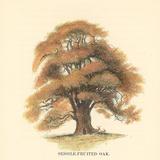 Sessile-Fruited Oak Art by Samuel Williams