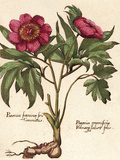 Giant Peony I Premium Giclee Print by Ludwig Van Houtte