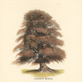 Common Beech Prints by Samuel Williams