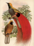 Scarlet Bird of Paradise Premium Giclee Print by Alastair Reynolds