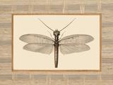 Delicate Dancer II Prints by Sarah E. Chilton