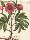 Giant Peony II Posters by Ludwig Van Houtte
