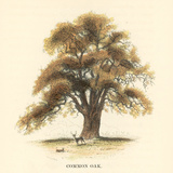 Common Oak Poster by Samuel Williams