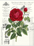 Heirloom Roses B Premium Giclee Print by Sarah E. Chilton