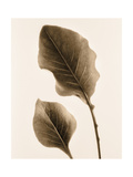 Philodendron Leaf Poster by Julie Greenwood