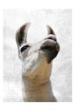 Pondering Lama Prints by Marcus Prime