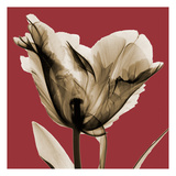 Red Luster Tulip Print by Albert Koetsier